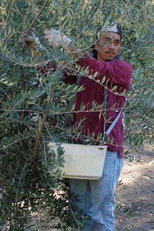 Ojai, Kalifornia: Harvesting