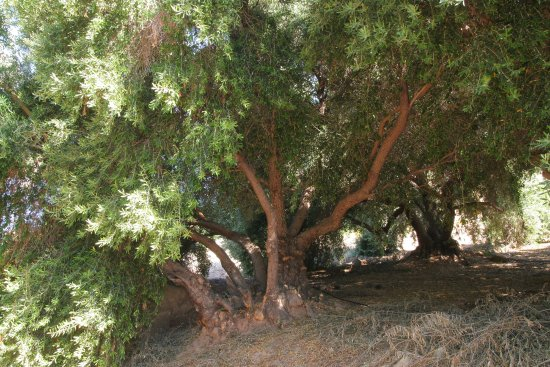 Ojai, CA: Our groves