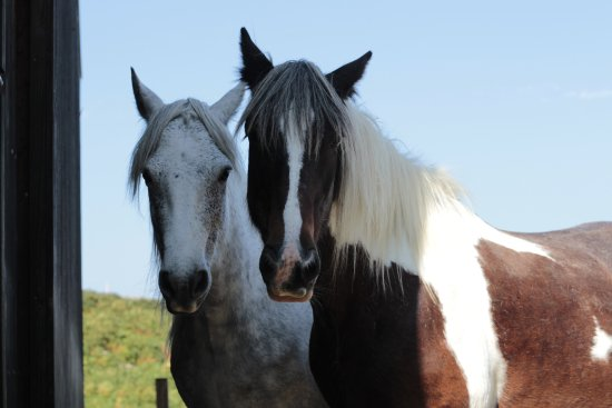 Macalla farm (Clare Island Yoga Retreat Centre) : Irish horses at the farm