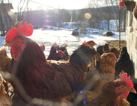 Dover Plains, Estado de Nueva York: Brookby Farm Chickens