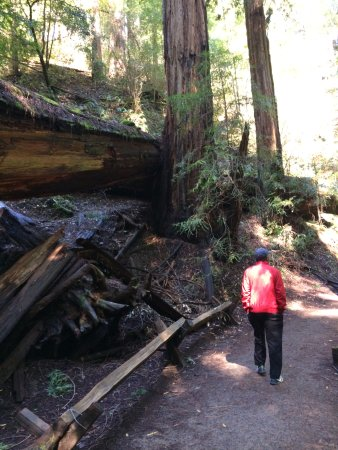 Guerneville, CA: hiking next to a fallen redwood in Armstrong Redwood State Reserve