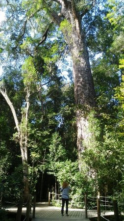 Humansdorp, Sør-Afrika: Photo is taken at the Big Tree on the Garden Route between Jeffreysbay and Plettenberg Bay