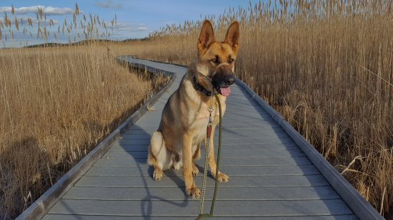 Brighton, Kanada: My dog Pablo sitting on the Marsh boardwalk