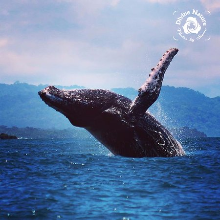 Дрейк-Бэй, Коста-Рика: Our Humpback Whales hang out right at our rich coast!
