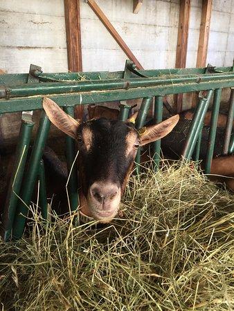 La Chèvrerie des Cabrioles : Notre chèvre Hulotte