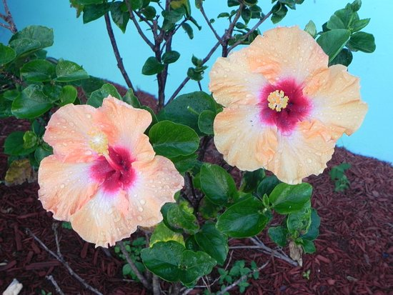 Jensen Beach, Φλόριντα: Beautiful Hibiscus are planted in front of most units.