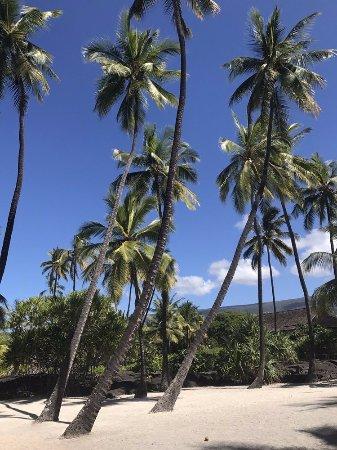 Honaunau, HI: palm trees