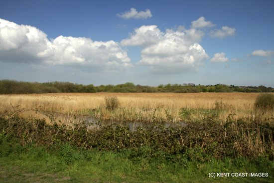 Stodmarsh National Nature Reserve: Looking across the reed beds at Stodmarsh