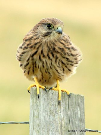 Stodmarsh National Nature Reserve: Kestrel on fence post