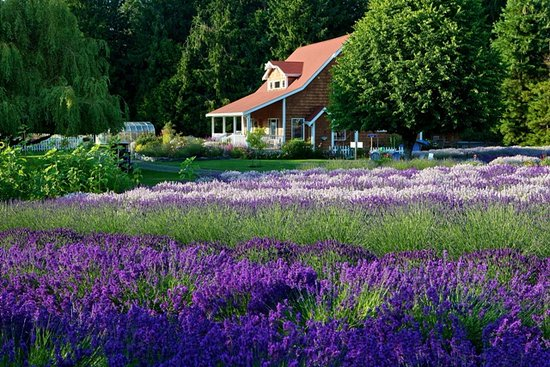 ‪Purple Haze Lavender Farm‬