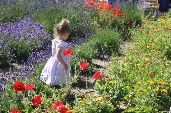 Sequim, WA: A little one in among the lavender and poppies