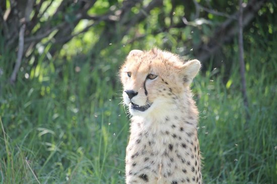 Safari Kenya Tanzania : Guepardo