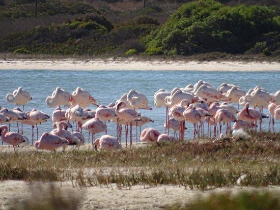 West Coast National Park, Sudáfrica: Flamingos in der Lagune