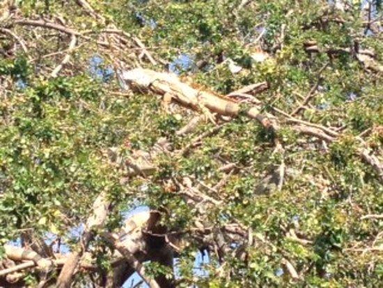 Manzanillo Bay: Hugo brought us to an Iguana area