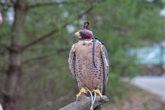 The Greenbrier Falconry: 'Daisy' The Falcon sitting for a photo