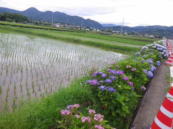 Kaisei-machi, Japan: 田んぼの脇に植えられています