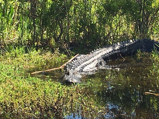 Spirit of the Swamp Airboat Rides: One of the big gators we saw