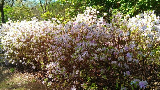 National Rhododendron Gardens: Spring 6