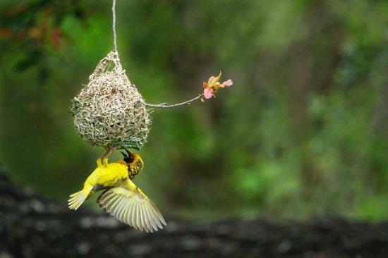 Weaver Bird Busy Building Nest Picture Of Nyumbani Estate