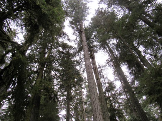 Port Alberni, Canada: Ceddat trees