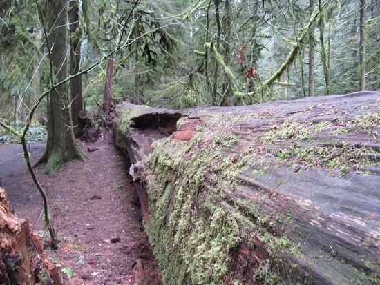 Port Alberni, Canada: Decaying trees