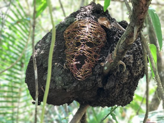 Benque Viejo del Carmen, Belice: One screaming termite nest!