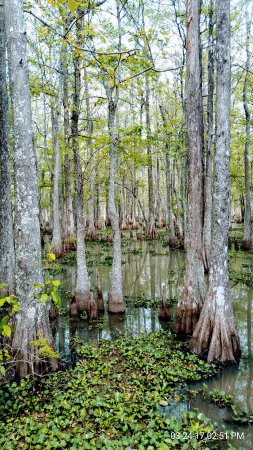 Gibson, LA: picture of some of the swamp