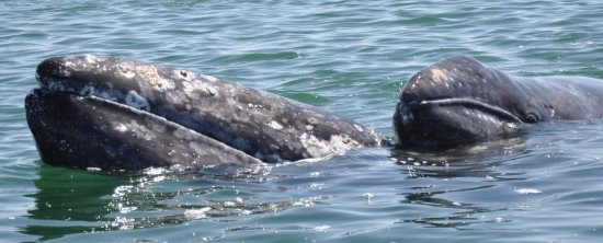 Point Arena, CA: Watch our beloved gray whales swim past the Lighthouse from November through May