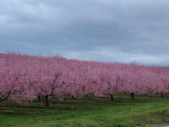 Martinsburg, Virginia Barat: Peach blossoms