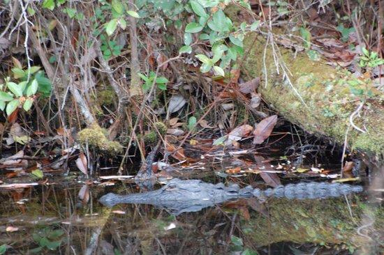 Folkston, GA: Alligator