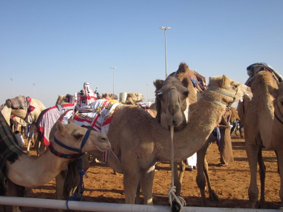 Camel pen area picture of dubai camel racing club dubai tripadvisor dubai camel racing club camel pen area altavistaventures Choice Image