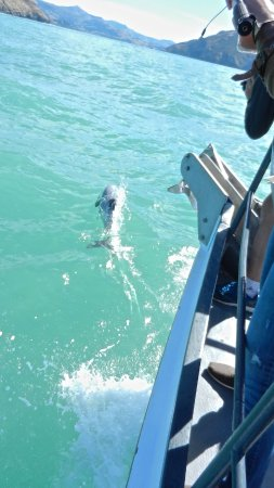 Coast up Close: Hector's dolphin