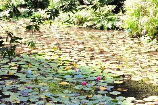 RAPAURA Watergardens: Lillies.
