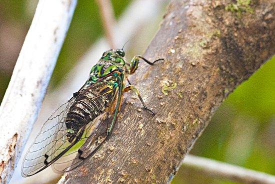 RAPAURA Watergardens: Cicada