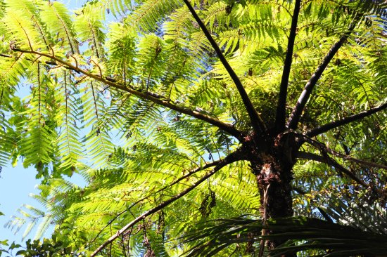 RAPAURA Watergardens: Tree fern or Punga