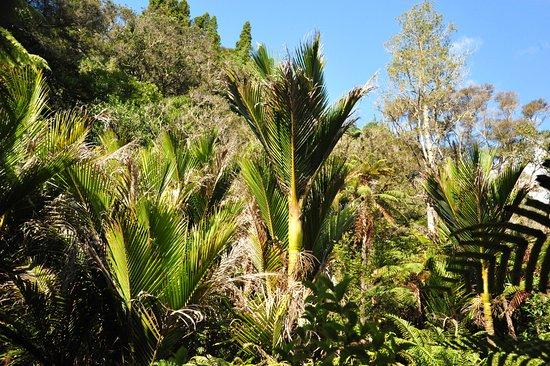 RAPAURA Watergardens: Nikau Palms
