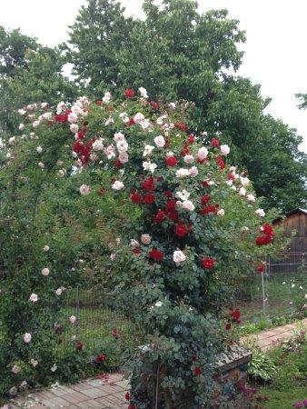 Horezu, Rumania: flowers, roses