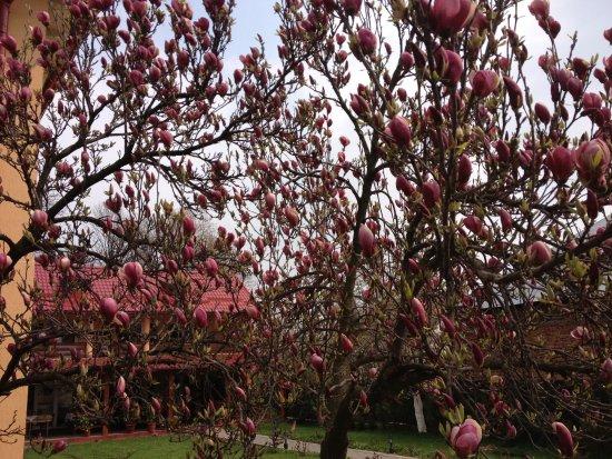 Horezu, Rumania: magnolia