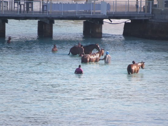 Garrison Savannah - Barbados Turf Club: Racehorses at Pebbles beach early in the morning