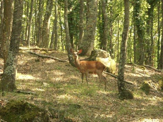 Monte Castello di Vibio, İtalya: Un daino nei boschi della tenuta