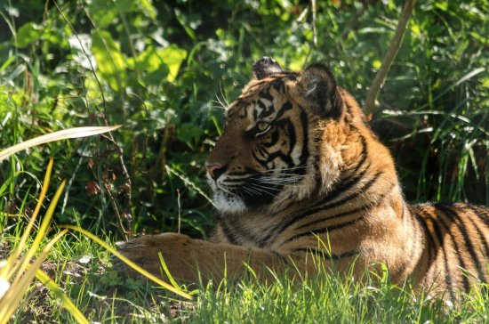 St. Florence, UK: Watch our majestic endangered sumatran tigers