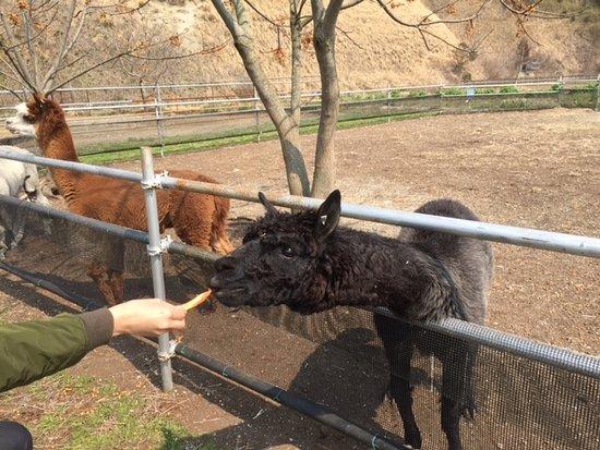Ostrich Kingdom Sodegaura Farm : アルパカに餌やり