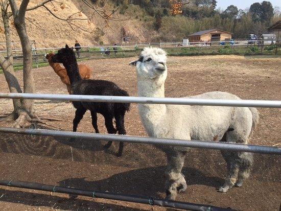 Ostrich Kingdom Sodegaura Farm : 可愛いアルパカ