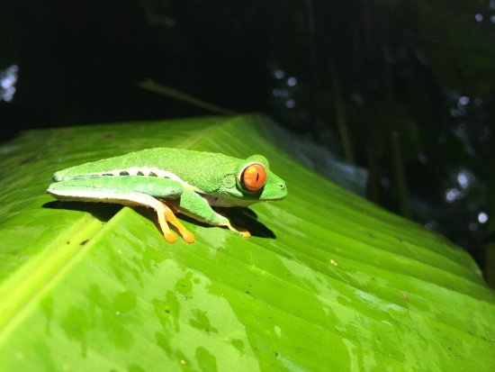 Puerto Viejo de Sarapiqui, Costa Rica: Red-eyed tree frog near the breakfast area