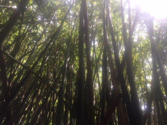 Lawai, HI: Dense bamboo groves on the way