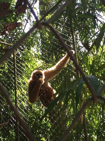 Gibbon Rehabilitation Project : photo0.jpg