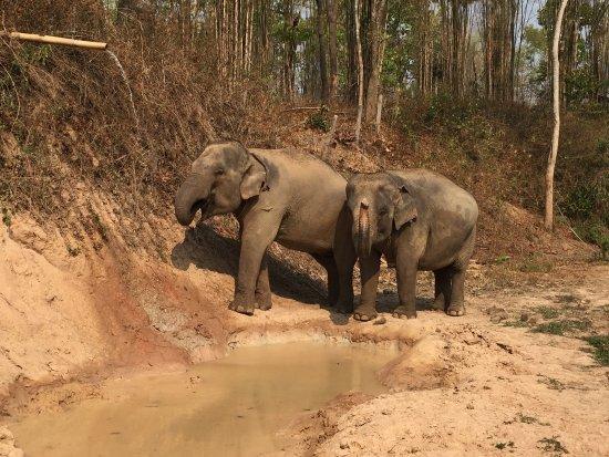 Thai Elephant Home : Las dos elefantas estan muy felices. Una de ellas esta embarazada y dará a luz dentro de 6 meses