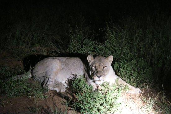 Zeerust, Afrique du Sud : A lioness at night