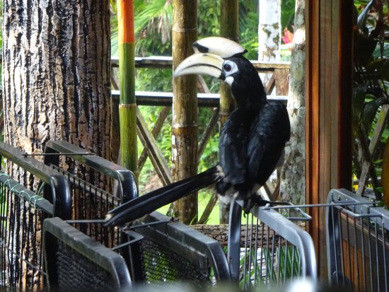 Sepilok Jungle Resort: Hornbill morgens vor der Tür