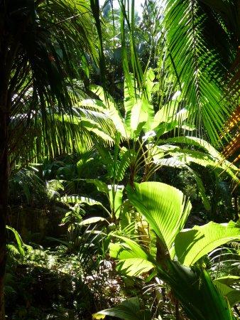 Île de Praslin, Îles Seychelles : Palmiers